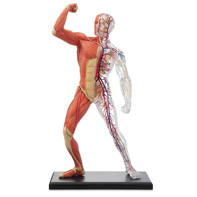 3-D Human Muscle & Skeleton Puzzle