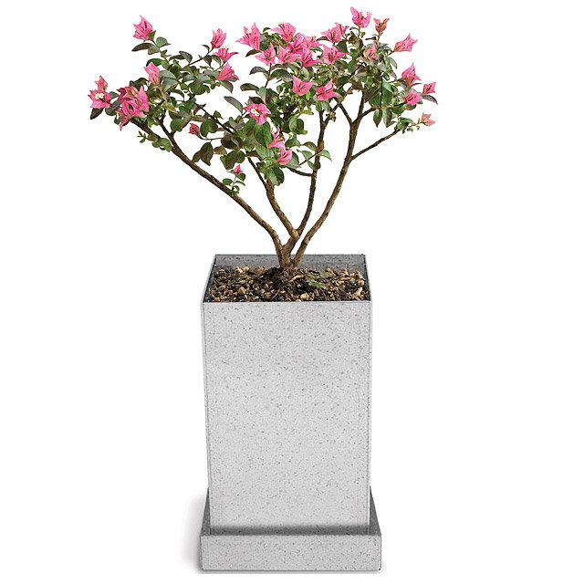 Crepe Myrtle Bonsai Specimen Tree