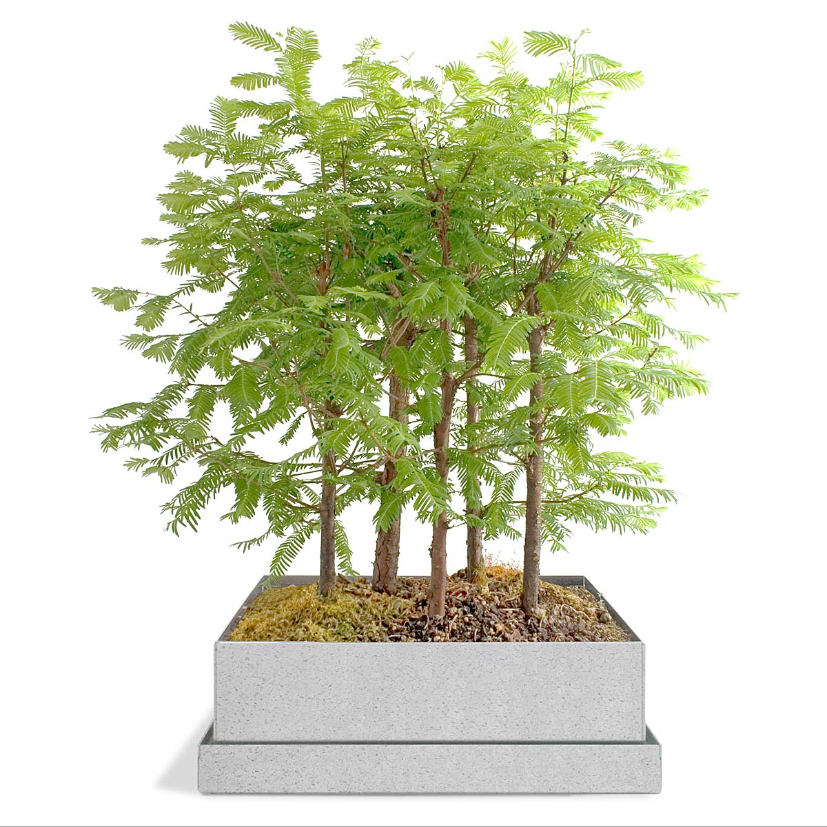 Dawn Redwood Bonsai Forest