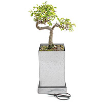 Japanese Elm Bonsai Specimen Tree