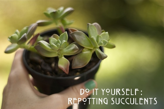 How To Repot Succulents -The Goods