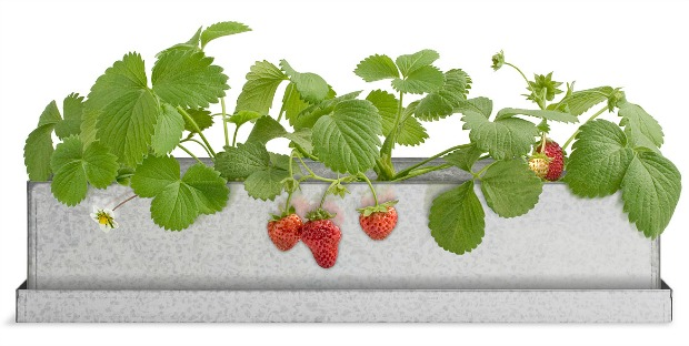 Strawberry Windowsill Growbox | UncommonGoods
