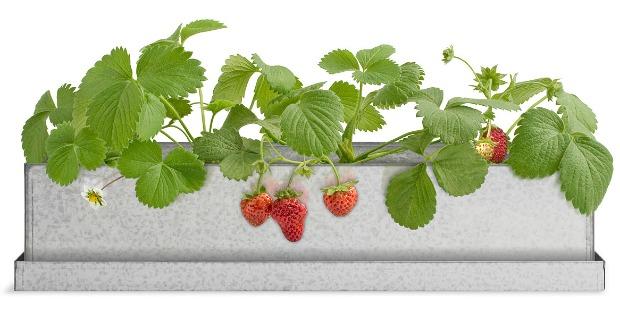 Strawberry Windowsill Growbox | UncommonGoods