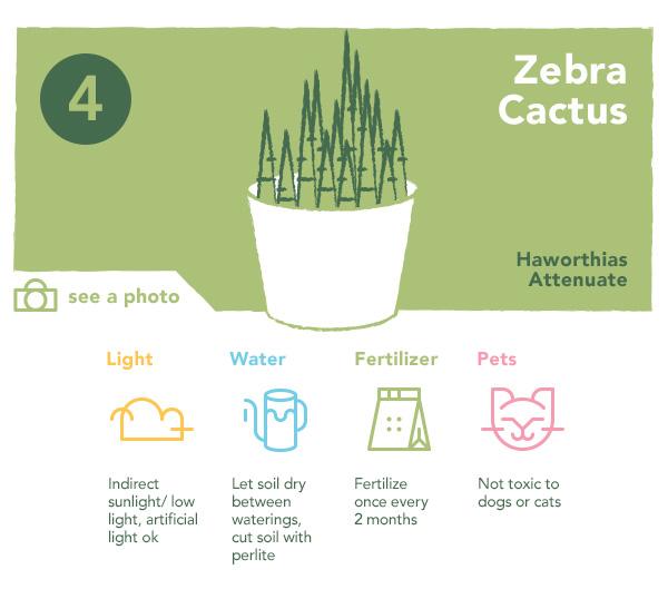 Zebra Cactus | UncommonGoods