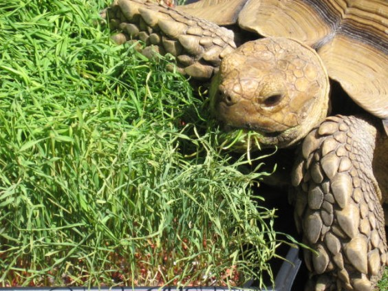 Roberta eating wheatgrass, close-up. Photo: Marisa Bowe.