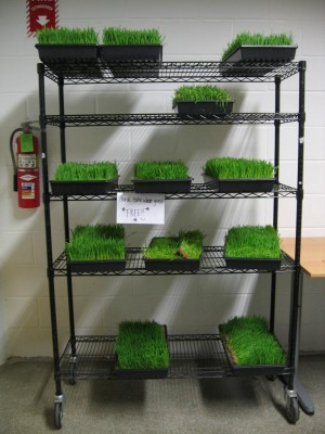 Wheat grass on shelf at UncommonGoods HQ. Photo: Marisa Bowe.