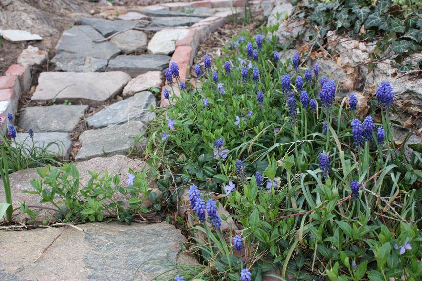 Garden - Grape Hyacinths 05