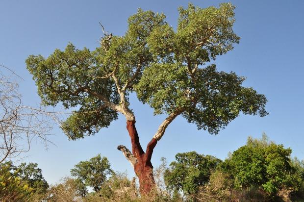 A Cork Oak