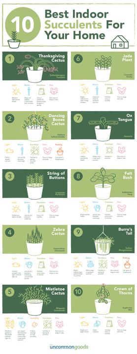 Indoor Succulent Infographic | UncommonGoods