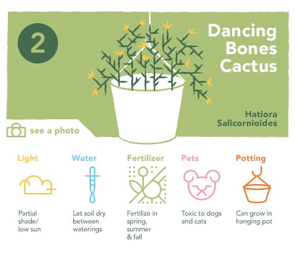 Dancing Bones Succulent | UncommonGoods