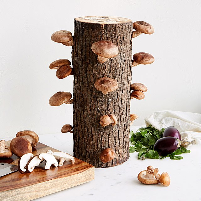 Shiitake Mushroom Log Kit | Uncommon Goods