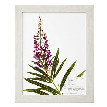 Fireweed Pressed Botanical Print