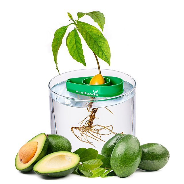 Avocado Tree Starter Kit Set Of 3 Grow Your Own Avocado Tree