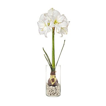 Amaryllis Winter Bulb Kit