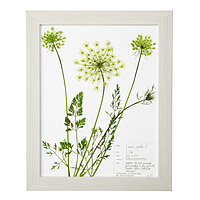 Queen Anne's Lace Pressed Botanical Print